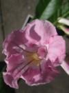 Pink Soufflé
